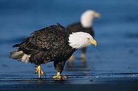 Bald Eagle, Haliaeetus leucocephalus, adult walking on beach, Homer, Alaska, USA