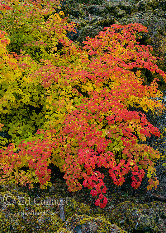Vine Maple, Acer circinatum, Upper McKenzie River National Recreation Trail, Willamette National Forest, Oregon