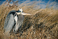 Great Blue Heron (Ardea herodias herodias) resting in dune grass on a cold winter day.