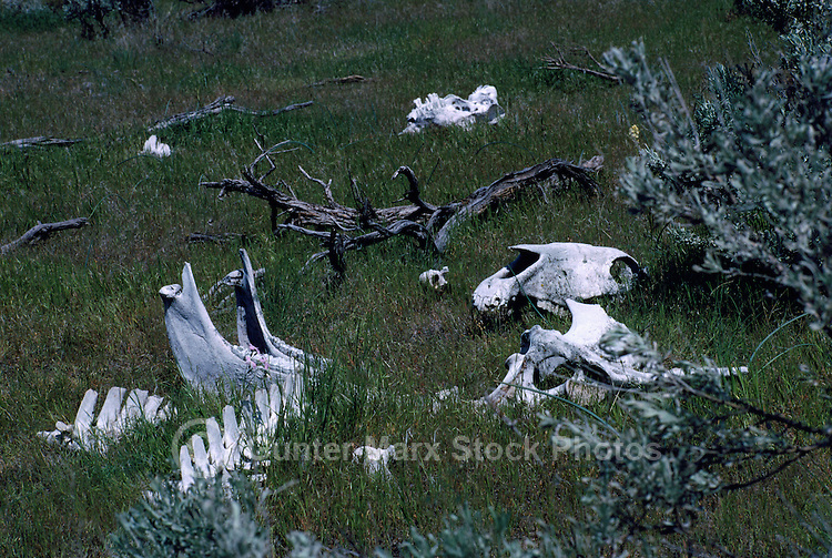 "Animal Bones in ""Pocket"" Desert near Osoyoos, BC, South Okanagan Valley, British Columbia, Canada"