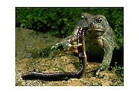 Fowlers toad (Bufo woodhousei fowleri) eating worm