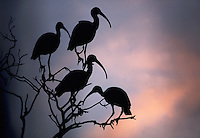 A flock of White Ibis on silhouette, roosting in a tree under a dark sky.