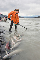 Personal use dipnet fishery, Copper River, Chitina, Alaska.