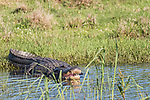 Damon, Texas; a large, American alligator resting with its mouth open, amongst the reeds on the bank of the slough, in late afternoon sunlight