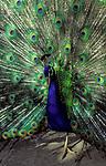 Portugal, Madeira, Funchal (Botanischer Garten): Pfau schlaegt Rad | Portugal, Madeira, Funchal (Botanical Garden): Peacock