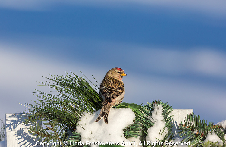 Common redpoll perched on a decorated white picket fence.