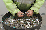 The Last Mudhorse Fishermen. UK 2008. The Sellick family, Stolford, Bridgewater Bay, Somerset. Sorting out Whiting that are to small to sell and leaving the Brown Shrimps.