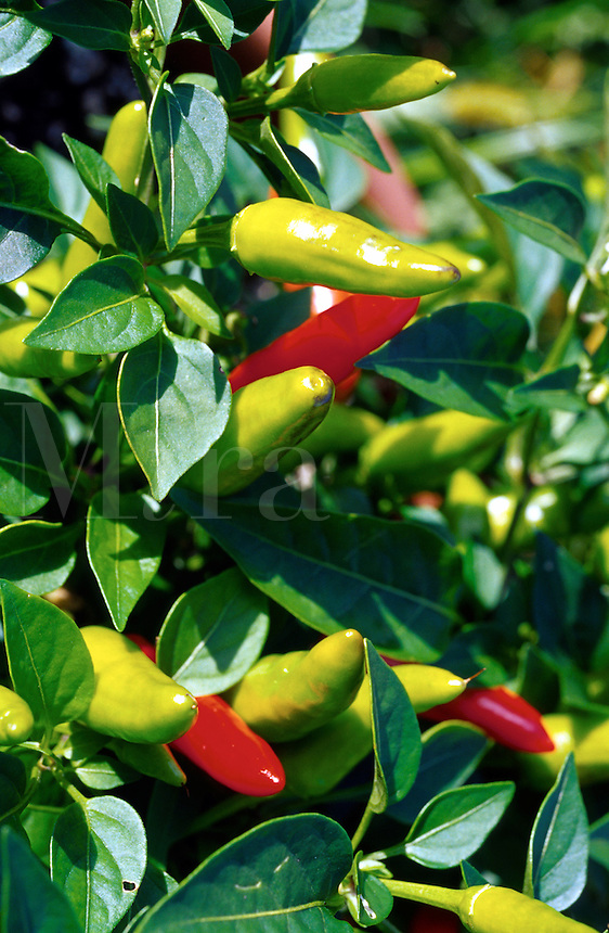 Close up of red and green hot peppers growing in a garden. Wisconsin.