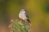 Curve-billed Thrasher (Toxostoma curvirostre) perched on cactus, Starr County, Rio Grande Valley, South Texas, USA