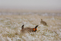 Adult male Greater Prairie-Chicken (Tympanachus cupido) displaying on a snow covered lek while a female watches. Ft. Pierre National Grassland, South Dakota. April.