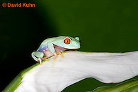 0306-0919  Red-eyed Tree Froglet (Young Frog) on White Flower, Agalychnis callidryas  © David Kuhn/Dwight Kuhn Photography.