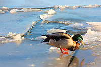 A male mallard duck stands on the broken ice in Oakville Harbour