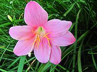 Blushing shy smiling pink rain lily rose looking down