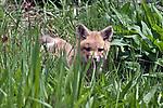 red fox kitt hiding in grass