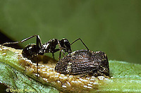 1T07-018k  Treehopper being tended to by ant - mutualism -  Publilia convava