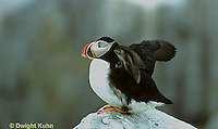 MC35-005z  Atlantic Puffin - flapping wings at Machias Seal Island, Bay of Fundy - Fratercula arctica