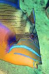 Balistes vetula, Queen triggerfish, Exuma, Bahamas