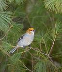 Pine grosbeak in northern Wisconsin.