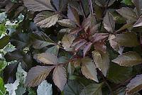 Dahlia Happy Single Series 'Flame' dark purple black foliage leaves