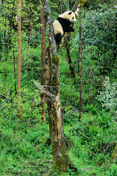 Giant Panda (Ailuropoda melanoleuca) in tree, China.