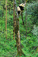 Giant Panda (Ailuropoda melanoleuca) in tree, China.
