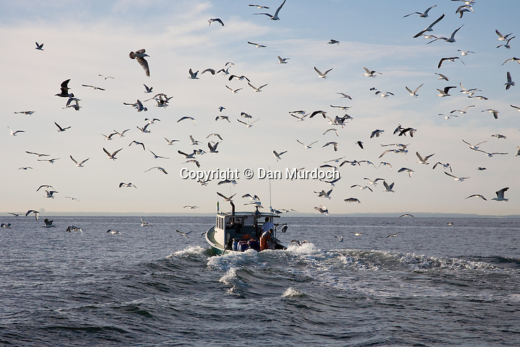 lobster boat heading out to sea with a large flock of seagulls following