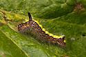 Grey Dagger moth {Acronicta psi} caterpillar feeding on Common Lime {Tilia vulgaris} leaf. Peak District National Park, Derbyshire, UK. August.