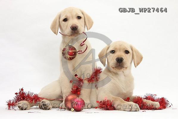 Kim, CHRISTMAS ANIMALS, photos, GBJBWP27464,#xa# stickers