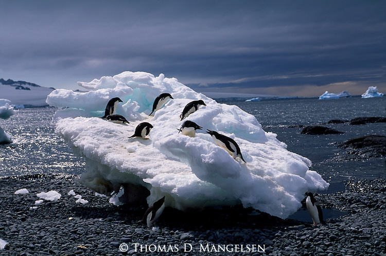 Adelie penguins on a beached iceberg at Brown Bluff in Antarctica.