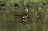 Olive Sparrow, Arremonops rufivirgatus,adult bathing, Starr County, Rio Grande Valley, Texas, USA, May 2002