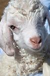New born angora goat, just 3 days old