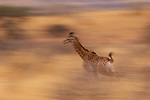 South African giraffe running, Zimbabwe, Africa