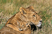 African lion mother with cub.  Serengeti National Park, Tanzania.