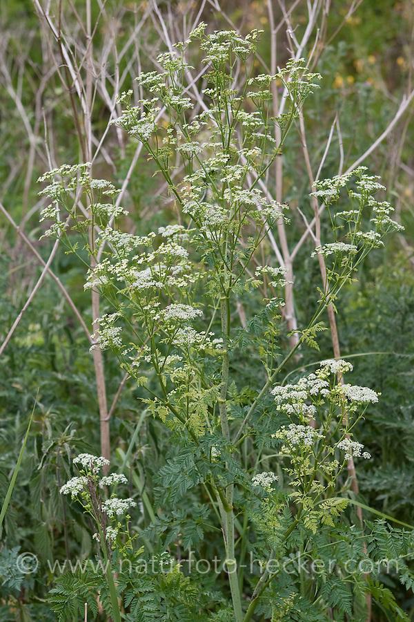 Gefleckter Schierling, Conium maculatum, Poison Hemlock