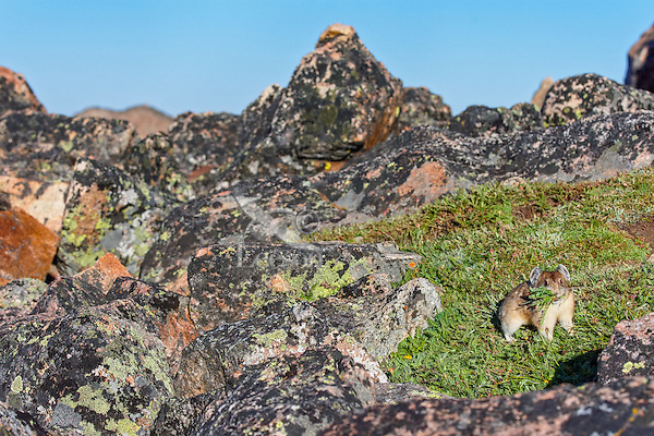 """American pika (Ochotona princeps) gathering """"hay"""" for its haypiles--winter food supply near its boulder field home.  Beartooth Mountains, Wyoming/Montana.  Summer.  This photo was taken in alpine setting at around 11,000 feet (3350 meters) elevation."""