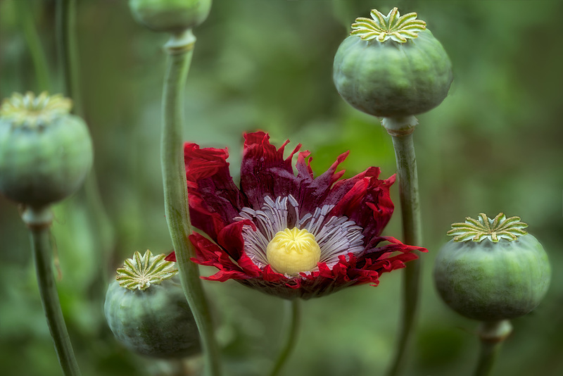 Poppy seed heads and flower.