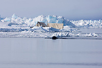 bowhead whale, Balaena mysticetus, swimming off the Savik whaling crew's camp at the edge of an open lead, Chukchi Sea, off Point Barrow, Arctic Alaska
