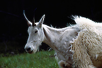 Mountain Goat (Oreamnos americanus), aka Rocky Mountain Goat, moulting Fur, Kootenay National Park, BC, British Columbia, Canada