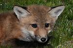 6 week old Red fox kitt resting in field, medium shot.