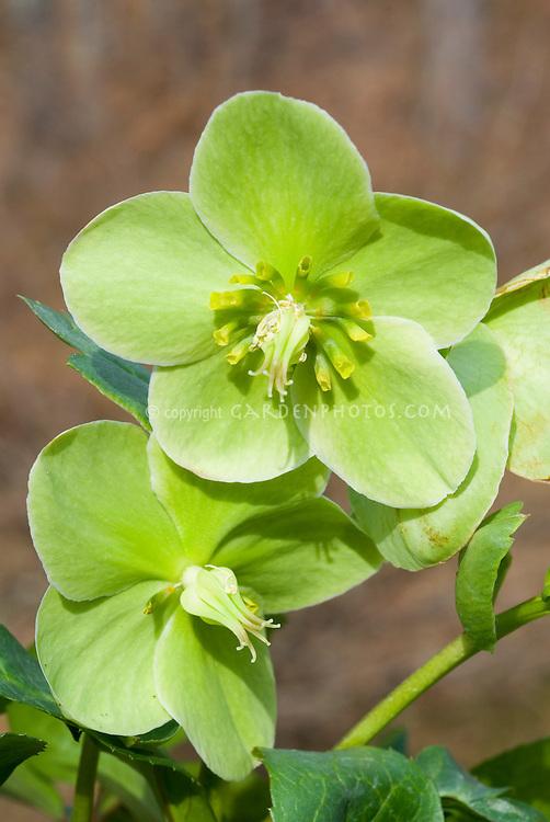 Helleborus x nigercors 'Green Corsican' (Green flowered hellebore)