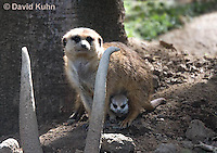 0329-1011  Meerkat with Baby (Pup), Suricata suricatta  © David Kuhn/Dwight Kuhn Photography.