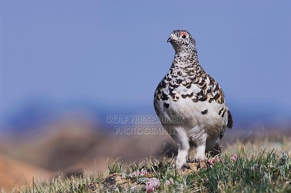 White-tailed Ptarmigan,Lagopus leucurus,adult male in summer plumage on alpine tundra, Rocky Mountain National Park, Colorado, USA