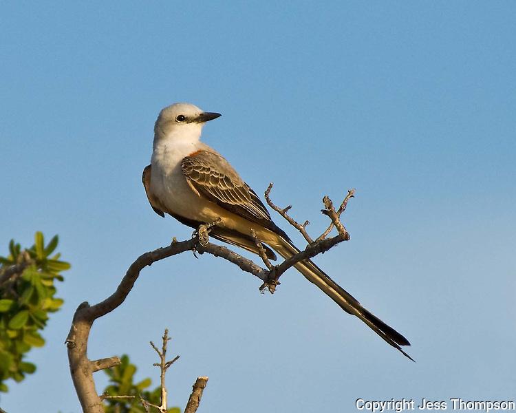 Scissor-tailed Flycatcher, Falcon Lake State Park, TX