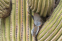 A Mourning Dove, Zenaida macroura, approaches its nest in a Saguaro cactus, Carnegiea gigantea, in the Desert Botanical Garden, Phoenix, Arizona