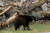 MA01-142z  Black Bear - brown phase - Ursus americanus