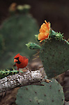 Northern Cardinal perched among flowering cacti in South Texas.