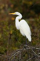 Great Egret (Ardea alba) in basic nonbreeding plumage. Mattamuskeet NWR, North Carolina. November.