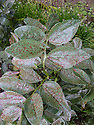 Broad bean chocolate spot, a fungus that causes brown spots on the leaves and brown streaks on stems and pods. It is most common on overwintering plants and in damp, humid weather.