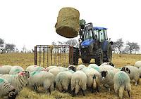 Feeding ewes, Catterick Garison, Yorkshire. Feeding Swaledale twin bearing ewes on the Army moor land.
