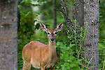 White-tailed doe in the deep forest